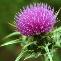 marian thistle